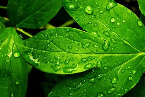 leafs drops green water